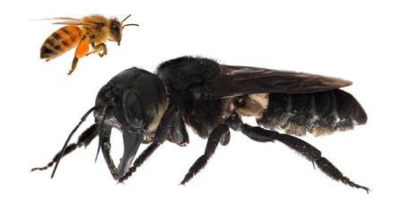 giant-bee